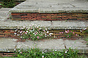 York stone and brick tile steps with Erigeron karvinskianus, Tidebrook Manor, East Sussex, early June.