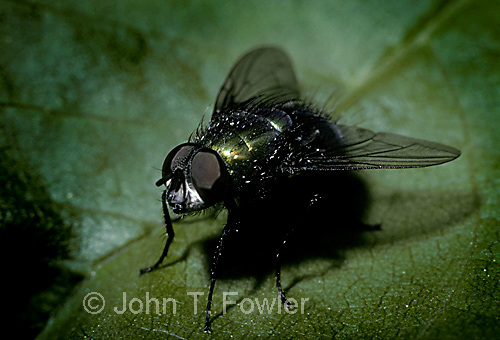 Blow fly Califoridae