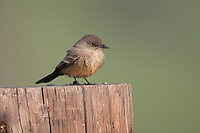 Say's Phoebe (Sayornis saya saya) on Cayucos Beach in Cayucos, California.