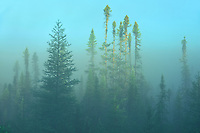 Boreal forest in fog st sunrise<br />