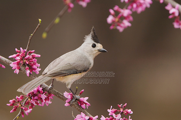 Black-crested Titmouse, Baeolophus atricristatus, adult perched on branch of blooming Eastern redbud (Cercis canadensis), New Braunfels, Texas, USA, March 2006