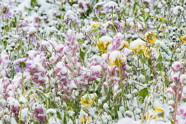 Snow covered wildflowers--paintbrush, daisies/fleabane, and groundsel--after summer snowstorm in subalpine meadow, Beartooth Mountains of Northern Wyoming.  July.