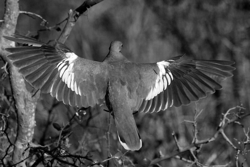 White-winged Dove in black & white.