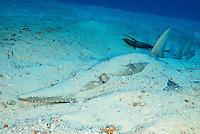 Rhynchobatus djiddensis, Grosser Gitarrenrochen, Riesengeigenrochen am Sand Meeresboden, Giant guitarfish on sandy sea floor, Malediven, Indischer Ozean, Ari Atoll, Fish Head,  Maldives, Indian Ocean