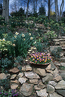 Violas in pot container on stone wall next to steps into naturalistic wooded garden full of Helleborus hellebores in bloom, with spring flowering bulbs Narcissus daffodils. David Culp garden, Pennsylvania