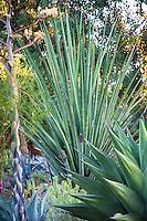 Furcraea macdougalii Bancroft Garden