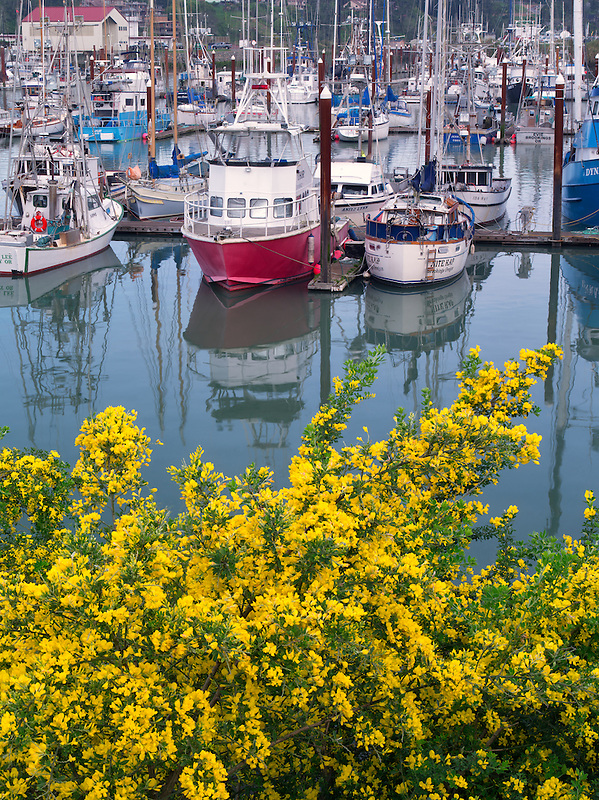 Fishing boats and flowering gorse. Brookings Harbor, Brookings, Oregon.