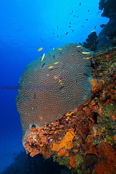 Great Star Coral, Montastrea cavernosa, Family, Faviidae, West End, Grand Bahamas, Atlantic Ocean.
