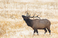 01980-02920 Elk (Cervus elaphaus) bull male bugling, Yellowstone National Park, WY