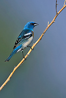 Lazuli Bunting - Passerina amoena - breeding male