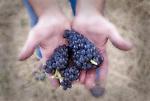 Pinot noir grapes grown biodynamically