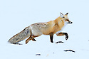 Adult red fox (Vulpes vulpes) running through snow. Hayden Valley, Yellowstone, USA. February