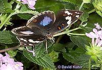 0401-08uu  Blue Pansy Butterfly, Blougesiggie, Junonia oenone oenone, Africa © David Kuhn/Dwight Kuhn Photography