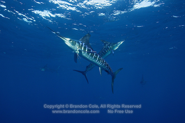 qf2696-D. Striped Marlin (Tetrapturus audax). Baja, Mexico, Pacific Ocean..Photo Copyright © Brandon Cole. All rights reserved worldwide.  www.brandoncole.com..This photo is NOT free. It is NOT in the public domain. This photo is a Copyrighted Work, registered with the US Copyright Office. .Rights to reproduction of photograph granted only upon payment in full of agreed upon licensing fee. Any use of this photo prior to such payment is an infringement of copyright and punishable by fines up to  $150,000 USD...Brandon Cole.MARINE PHOTOGRAPHY.http://www.brandoncole.com.email: brandoncole@msn.com.4917 N. Boeing Rd..Spokane Valley, WA  99206  USA.tel: 509-535-3489