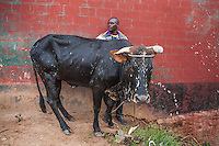 &ldquo;This cow, named Defeating Heroes, is 3 years old and was a gift from my father.<br /> There are two sons. My brother and I.  I respected my father so he gave me the cow. My father called the family and  gave me the cow, my brother wasn&rsquo;t angry and I was very honored with the gift of the cow.<br /> Since he gave it to me I can do whatever I want. <br /> I still have another, the child of this cow. So I&rsquo;ve chosen to sell this one and  buy a parcel of land. The land will be more useful than having two cows. Here you need land to cultivate and feed the family<br /> We&rsquo;ll sell the cow and bring beer to father to thank him, then I will go and buy land. I have his permission and he  knows that I will sell the cow.<br /> The cow will bring 250,000  Rwandan francs  or  $375.00.&rdquo;<br /> Cattle are sold on the road before they reach the auction site in Kivuruga, Rwanda. Photo by  Brendan Bannon. March 5, 2014