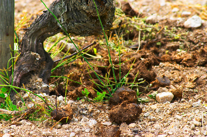 An old Syrah vine and on the ground natural fertilizer (horse manure)  In the vineyard Le Pavillon of M Chapoutier on the Hermitage hill, sandy and pebbly soil.   Domaine M Chapoutier, Tain l'Hermitage, Drome Drôme, France Europe