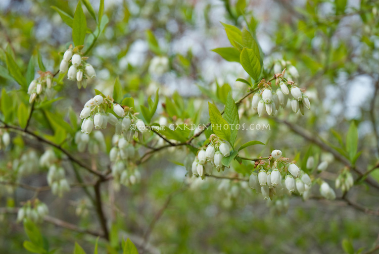 Blueberry Bush in Flower in spring Vaccinium corymbosum