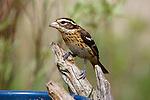 Female Evening grosbeak (Coccothraustes vespertinus) perched on a rustic bird feeder. Spring.  Winter, WI.