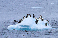 Gentoo Penguins use an icy platform as a base for feeding in the Lemaire Channel along the Western shore of the Antarctic Peninsula.