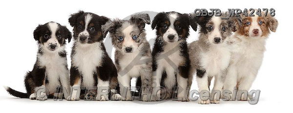 Kim, ANIMALS, REALISTISCHE TIERE, ANIMALES REALISTICOS, fondless, photos,+Six Mini American Shepherd puppies sitting in a row,++++,GBJBWP42478,#a#