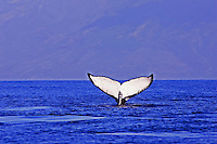 A humpback whale with a beautiful white tail with Molokai in the distance.