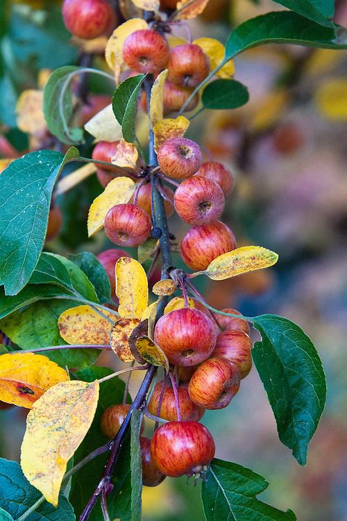 Malus 'Evereste', early November. An ornamental crab apple.