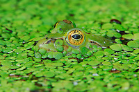 Edible frog (Rana esculenta), adult camouflaged in duckweed (Lemnaceae), Switzerland