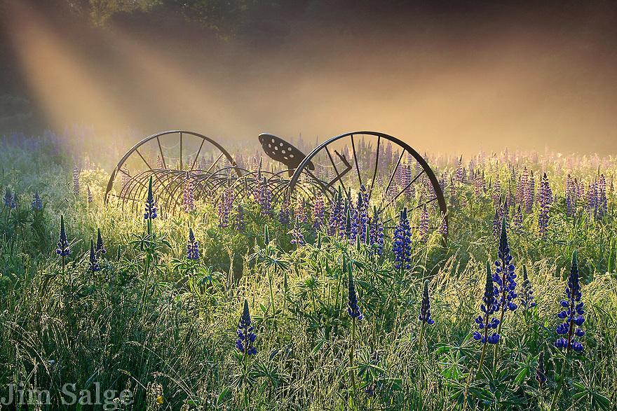 The town of Sugar Hill, NH is famed for its lupine festival during the month of June.  I usually spend a few mornings each year seeking the perfect combination of light and flowers.  On this fine June morning, a cool mist was burning off in the warm spring sunlight, creating dramatic rays over a field at the height of bloom.  The hayrake anchors the pastoral scene.