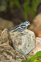 Black and White Warbler, Chan Chich, Belize