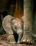 African elephants are highly protective of their young.  Tarangire National Park, Tanzania