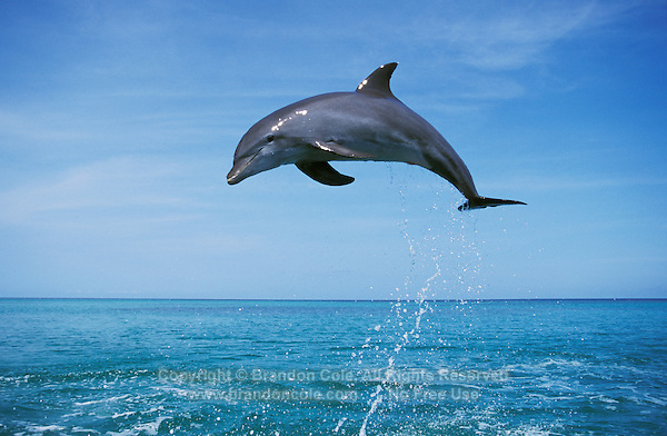 my701. Bottlenose Dolphin (Tursiops truncatus) leaping. Honduras, Caribbean Sea..Photo Copyright © Brandon Cole. All rights reserved worldwide.  www.brandoncole.com