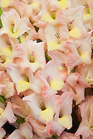 Summer Bulb Gladilolus Mon Amour similar