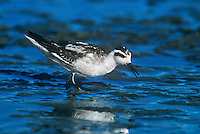 570953004 a wild red-necked phalarope shorebird in winter plumage feeds in the shallows of san elijo lagoon in san diego county in southern california united states