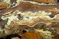 wet rot<br /> Coniophora puteana