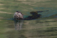 River Otter swimming in a pond - CA