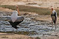 Painted Stork, Yala National Park, Sri Lanka