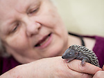 © Joel Goodman - 07973 332324 . 19 June 2013 . Manchester , UK . BARBARA ROBERTS (62, correct) has set up her own hedgehog rescue service from her home . During the summer she receives an influx of injured and parentless baby hedgehogs . Photo credit : Joel Goodman