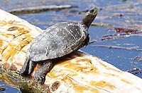 Turtle - Western Pond