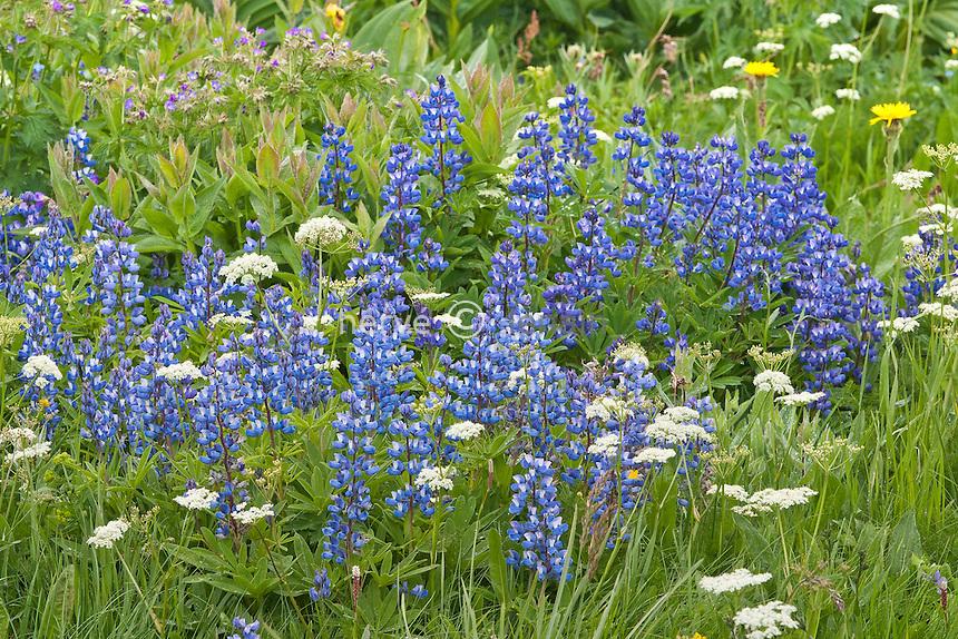 Jardin alpin du lautaret : lupin de Nootka, (Lupinus nootkatensis), Origine : Amérique nord // Nootka lupine, Lupinus nootkatensis
