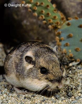 MU31-030z  Silky Pocket Mouse - Perognathus flavus