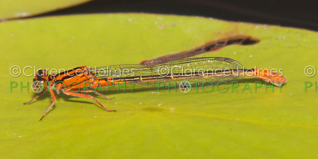 Lilypad Forktail (Ischnura kellicotti) Damselfly - Juvenile Female, Promised Land State Park, Greentown, Pike County, Pennsylvania