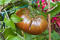 Tomato Black Krim cracking open while growing - vegetable plant problem due to lack of water then a heavy rain, irregular irrigation