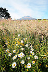 Mt Taranaki and Wild Flowers, New Zealand