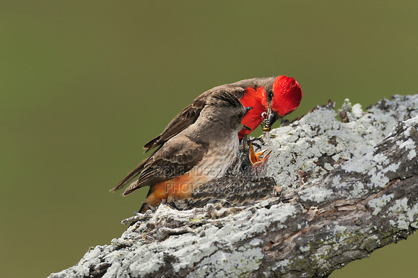 Vermillion Flycatcher (Pyrocephalus rubinus), pair feeding young in nest, Laredo, Webb County, South Texas, USA