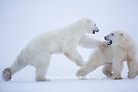 01874-13414 Polar Bears (Ursus maritimus) sparring, Churchill Wildlife Management Area, Churchill, MB