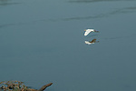Great White Egret, Luangwa River