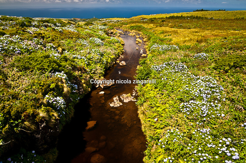 Fly fisherman fishing a small river of the island of Flores at the Azores for rainbow trouts. Large lanscape view with hydrangeas, tall grass and the atlantic ocean in the background