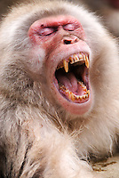 A dominant male Japanese macaque, or snow monkey, shows his teeth in a warning yawn in the hot springs at Jigokudani Yaen Koen, Nagano, Japan.