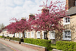 Cherry blossom trees at nineteenth century model worker's housing, Railway Village Swindon, Wiltshire, England, UK