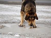 Fecha: 2017-11-30 O Cebreiro, Lugo.- Tiempo muy frío.- En la montaña de Lugo, y en el interior amaneció con heladas bastante importantes. Pero la nieve no termina de aparecer del todo debido a la falta de precipitaciones. En la imagen un perro intenta beber en un charco congelado en la montaña de Lugo.